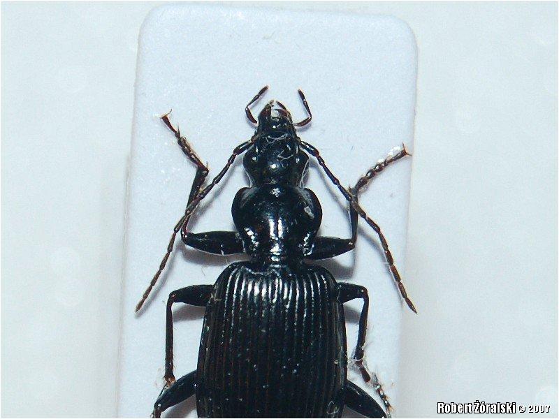 Carabidae Coleoptera  ...