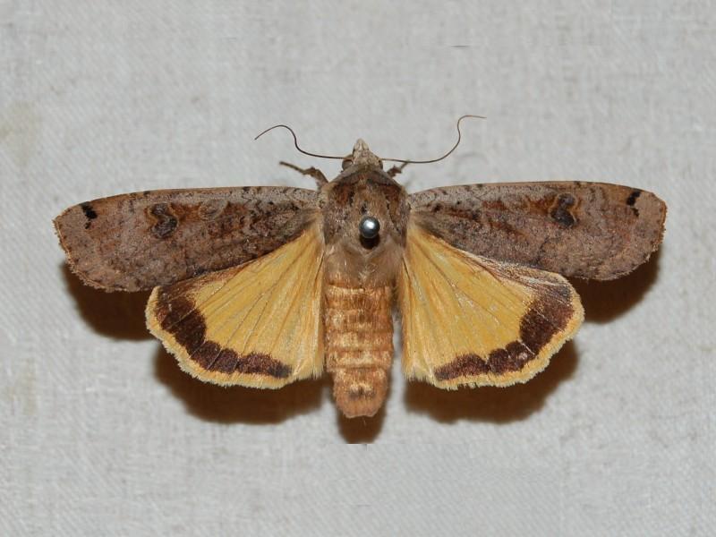 Pornostar Lepidoptera